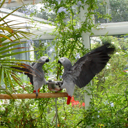 Pair of African Greys Parrots Birds