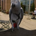 parrot on harness