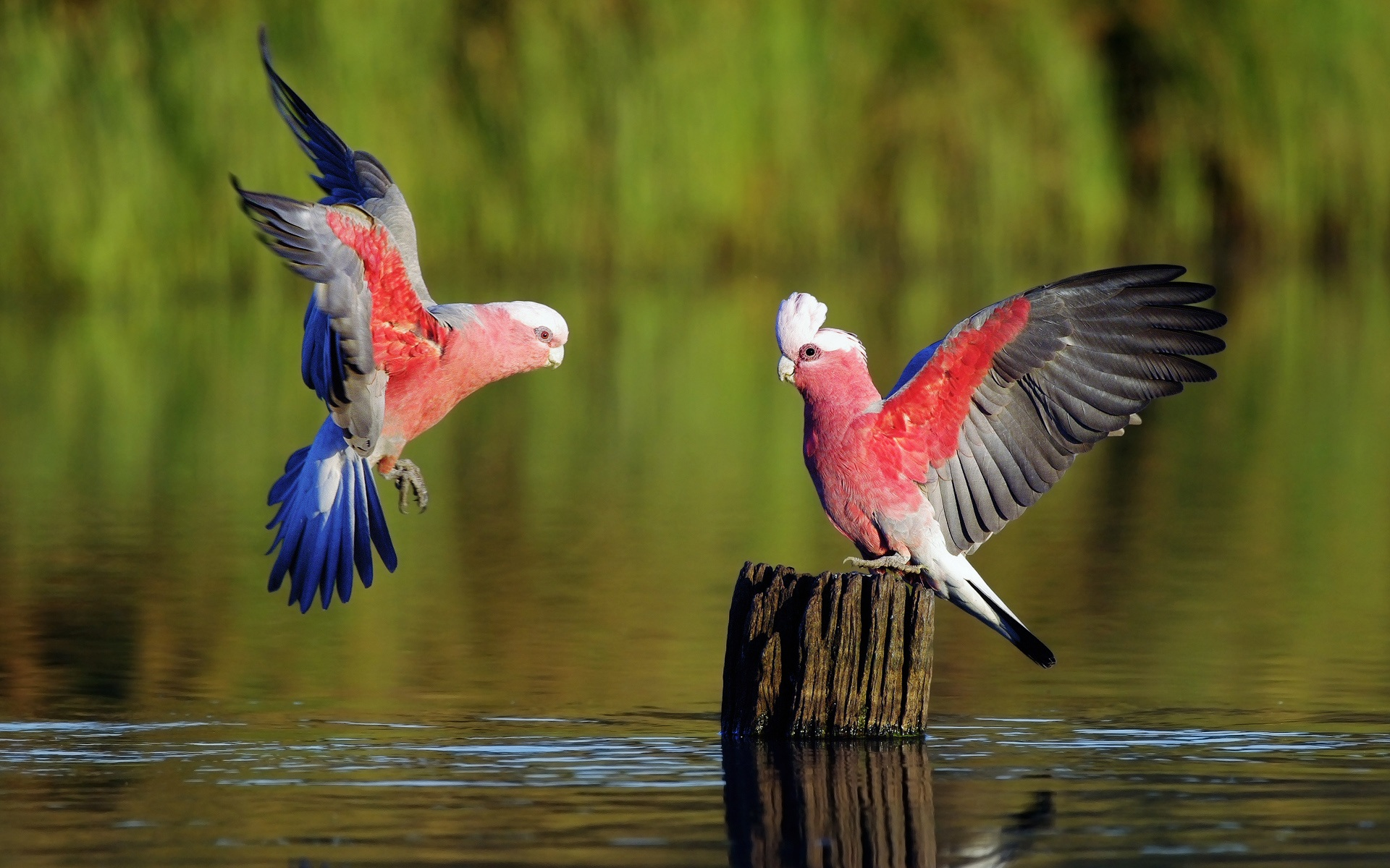 Two-parrots-playing-on-the-surface-of-the-river