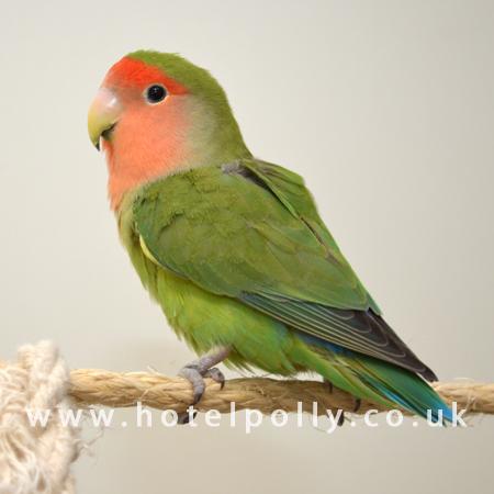 peach face lovebird   parrot profile by parrot essentials