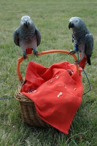 Gracie and Artha share the basket at village fete parrot ennrichment
