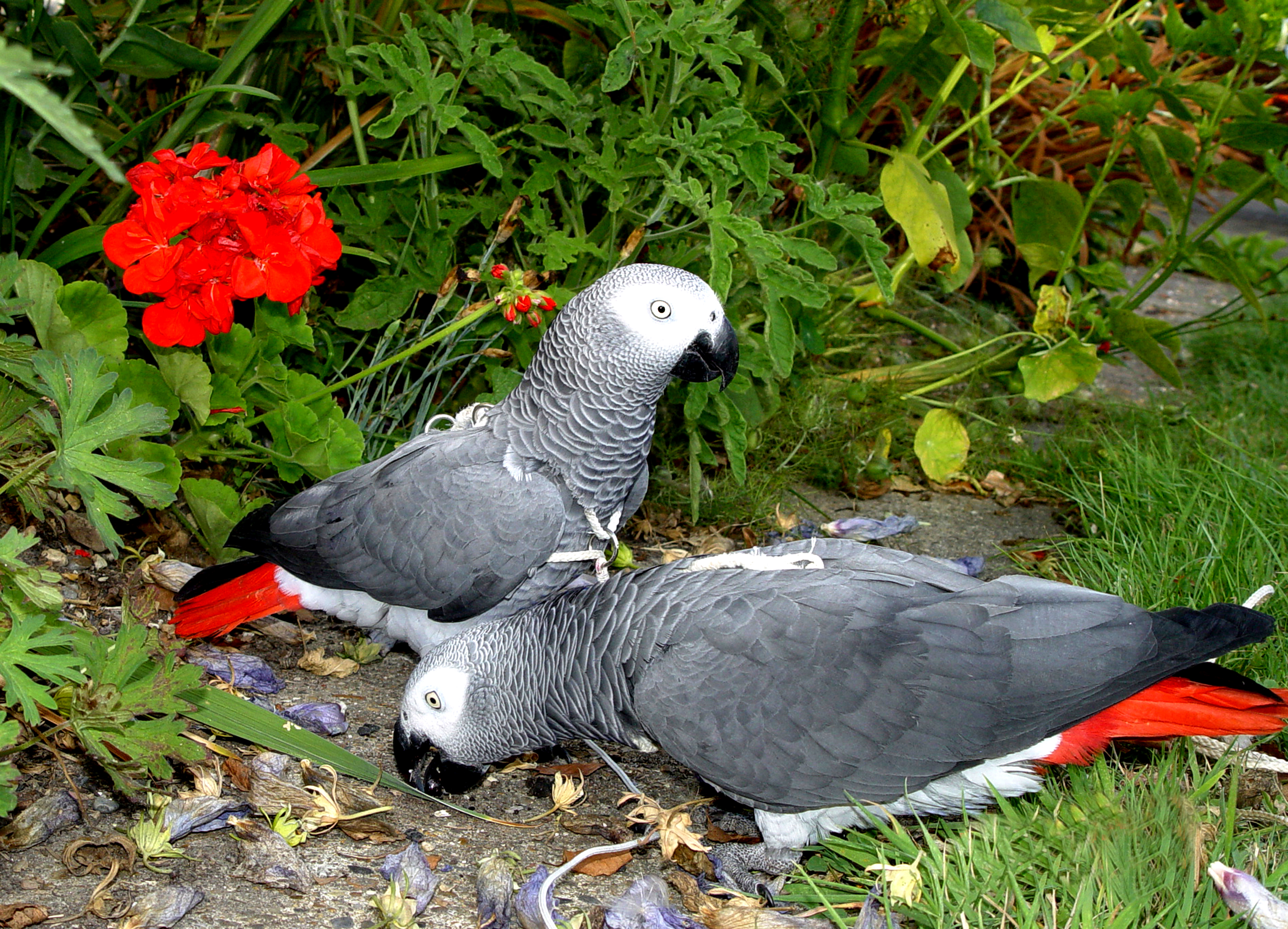 Birds On Harness Eating Hibiscus Flowers Parrot Essentials