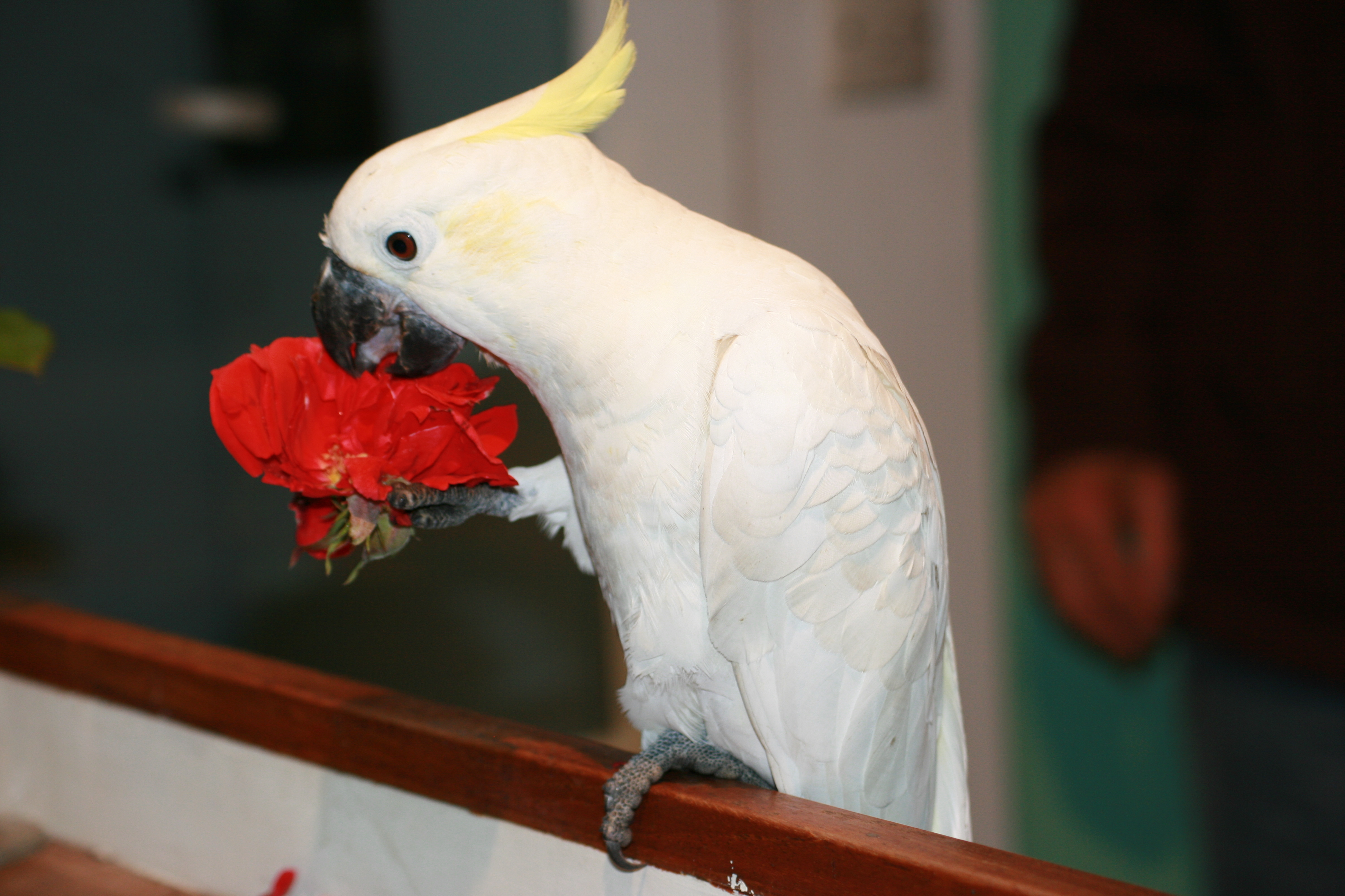Parrot Diet - What shall I give my Parrot to Eat?
