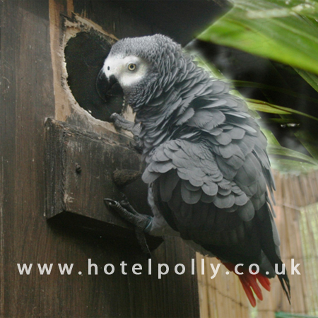 congo african grey Alex the african grey parrot could do more than imitate human speech patterns   after about 18 months of training, he began to use the word to his trainer when.