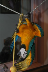 Blue and Gold Macaw first flights