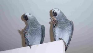 Two Parrots Eat Ham
