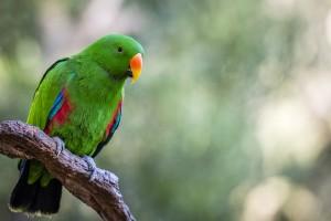 Eclectus parrot charlie