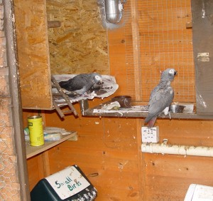 mirt timneh african grey