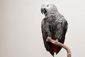 West African Grey Parrot