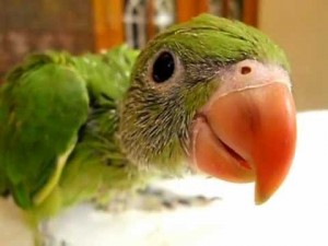 beak baby parrot parrot behaviour