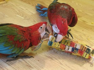 chewing macaw parrot