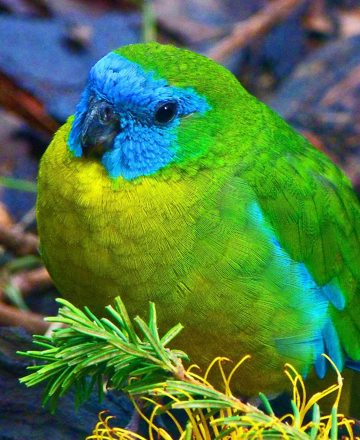 how to stop bird calling quaking australia