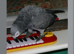 Artha African Grey plays with piano toy