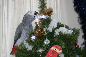 African Grey on Christmas tree