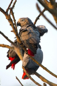 African Greys Parrots on a tree