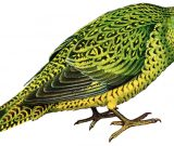 Elusive Night Parrot of Australia