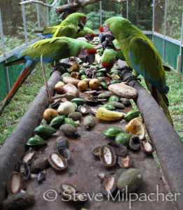 Saving Macaws in Costa Rica - Great Green Macaw Parrot