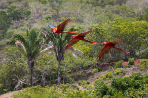 Saving Macaws in Costa Rica - Scarlet Macaws in flight