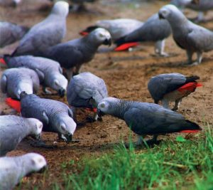 African Grey Parrots Feeding