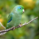 Parrotlet Profile & Care Guide