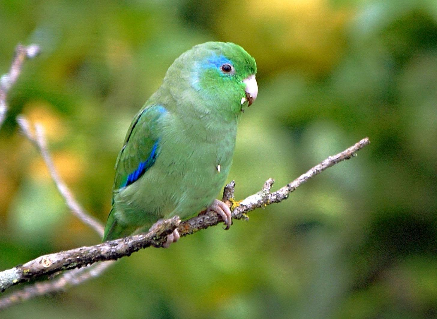 Parrotlet Profile & Care Guide