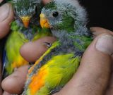 orange-bellied-parrot-chicks