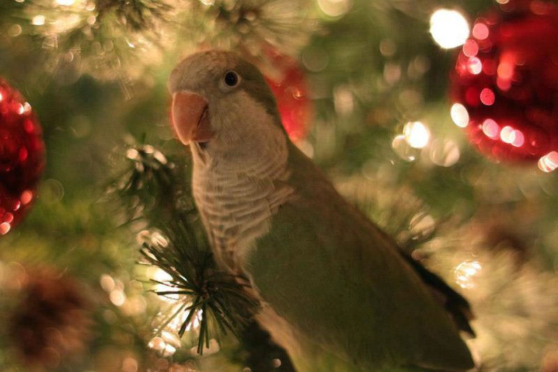 Christmas Trees and Parrots