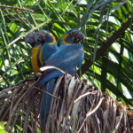 Group of blue-throated macaws
