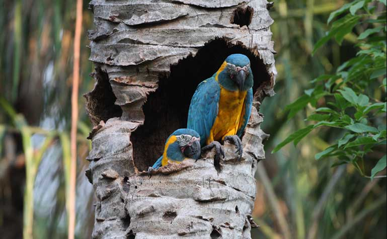 Pair of blue-throated-macaw