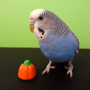 Parrots Halloween Safety Budgie