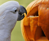 Parrots Halloween Safety