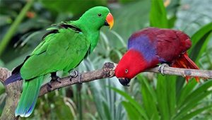 Green Birds for St Patrick's Day - Eclectus Pair