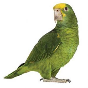 Green Birds for St Patrick's Day - Amazon Parrot