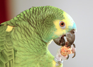 Healthy Parrot Food by Parrot Essentials