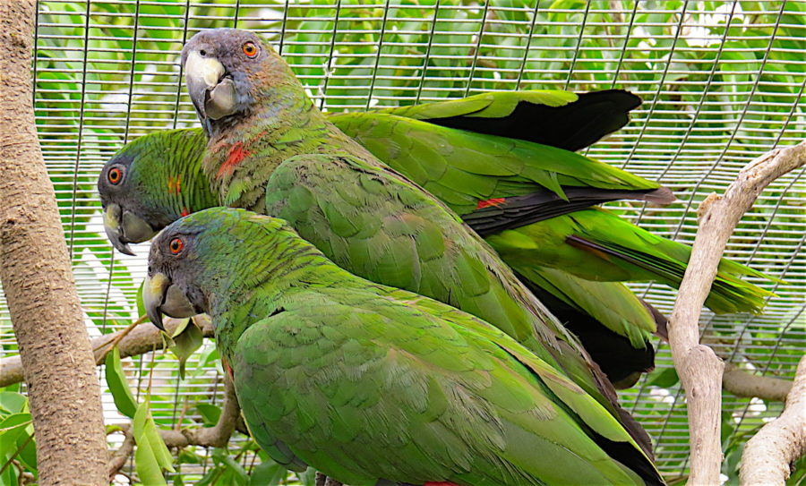 BirdsCarribean Speaks Out On Threatened Parrots Controversy