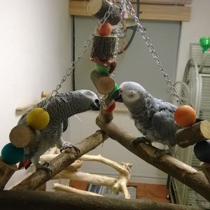 Parrots Playing at Hotel Polly