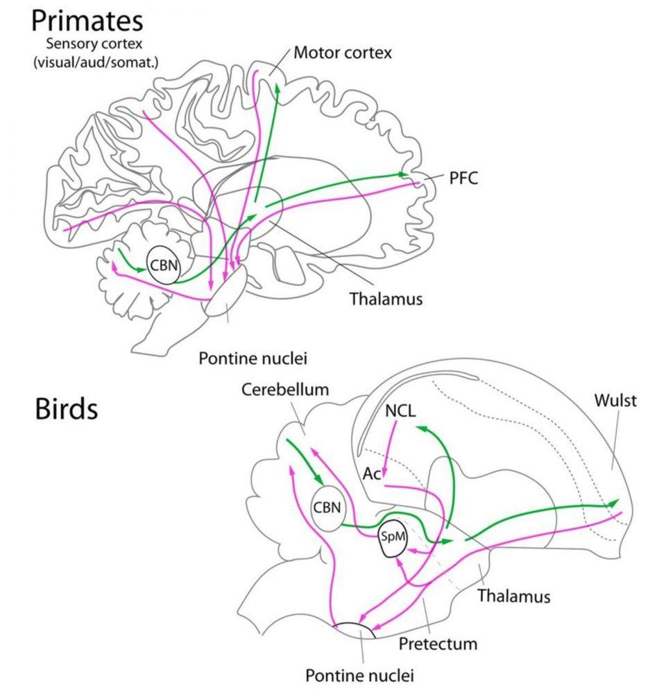 Parrot Brain vs Primate Brain Diagram