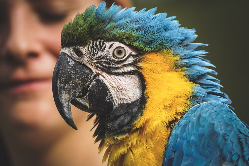 Close-up of macaw parrot.