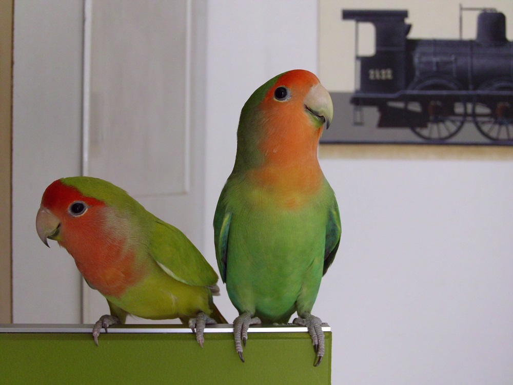 Two peach faced lovebirds on their parrot playstand.