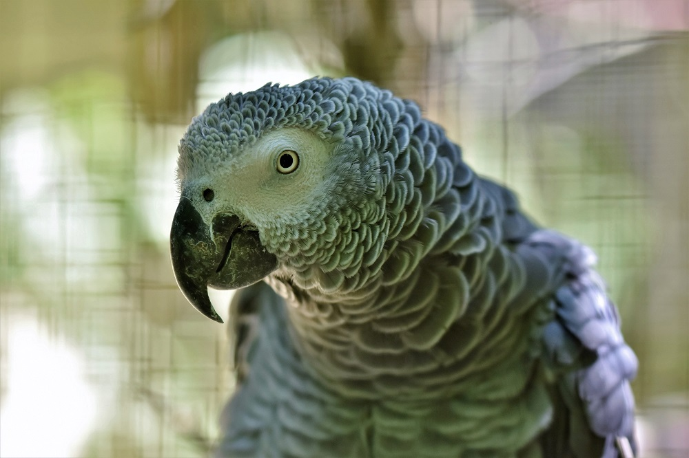 African grey parrot in shallow focus.