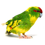 Kakariki Care Guide & Facts