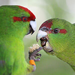 Kakariki Care Guid - Pair of Birds