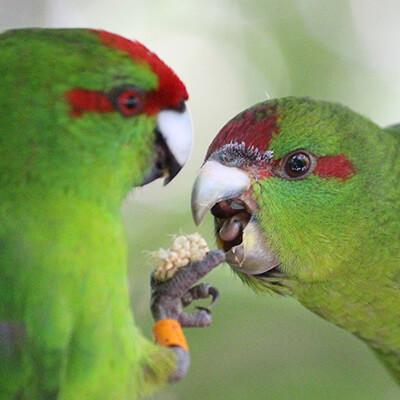 Kakariki Care Guide - Pair of Birds