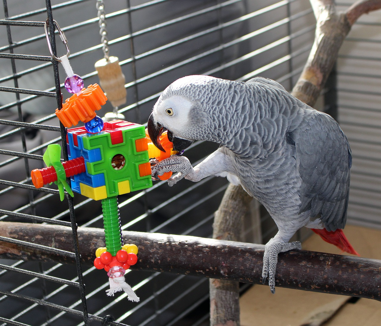 African grey parrot playing with foraging toy