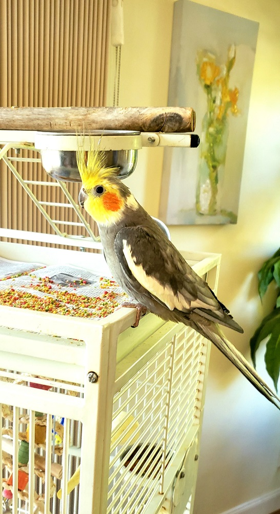 Cockatiel sitting on white cage next to a pile of colored parrot pellets.
