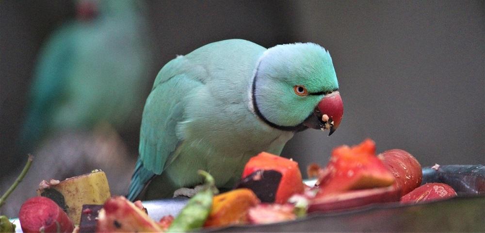 Blue Indian ringneck parrot feeding on fruit mix.