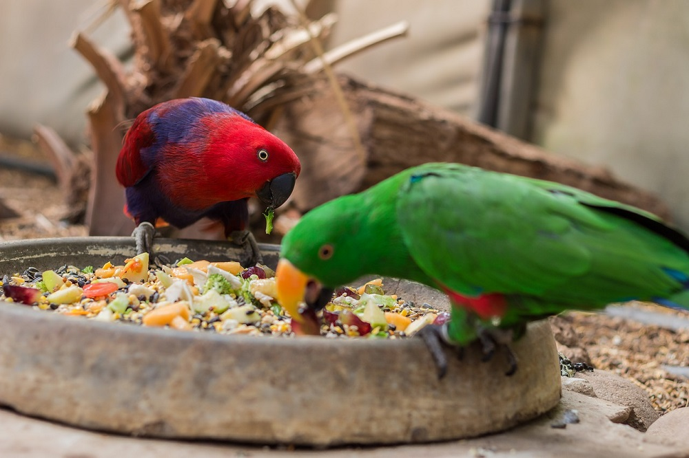 What do parrots eat? Male and female Eclectus parrots eating fresh produce mix from stone bowl.