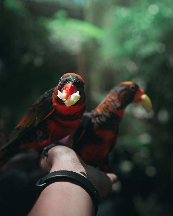 What do parrots eat? Lorikeets on human hand holding fruit in beak.