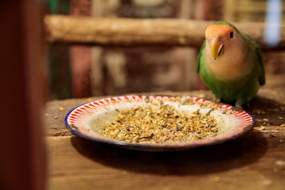 Lovebird sitting on a plate with seed mix.