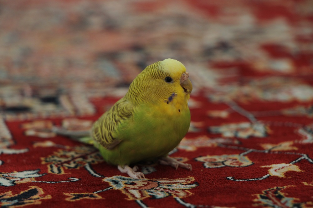 What sounds do parakeets make?